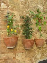 Wall Flowers of Pienza