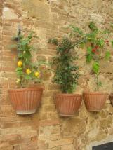 Wall Flowers of Pienza