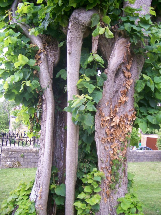 The Trees of St James