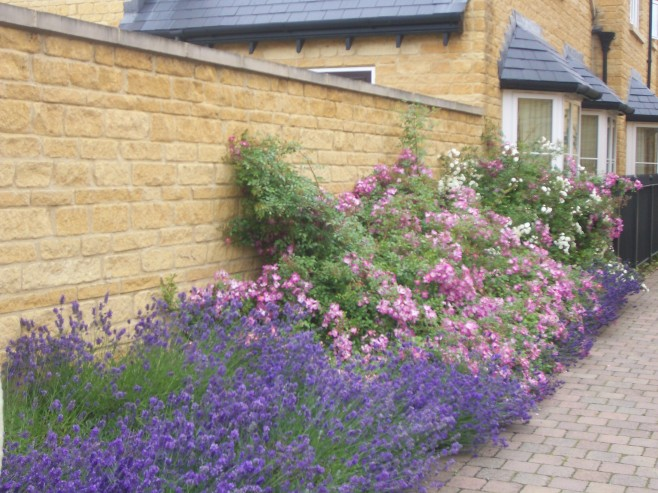 Lavender and Rose Path in Broadway, UK