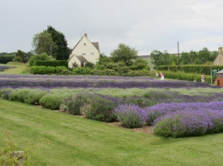 Lavender Varieties in Snowshill, UK