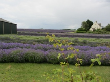 Fields of Lavender in Snowshill, UK