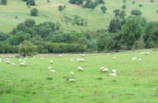 The Sheep of the Cotswolds