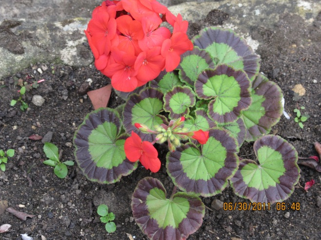 Geranium in an English Garden
