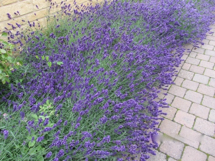 The Lavender of Broadway, UK