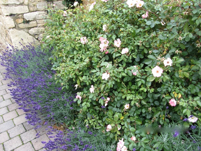 Shrub roses and Lavender in Broadway UK