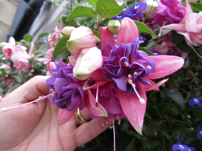 The Fuchsia is Sooooo Beautiful!