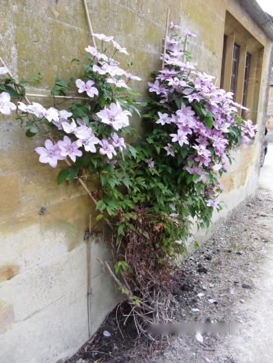 Clematis Growing at Stanway House