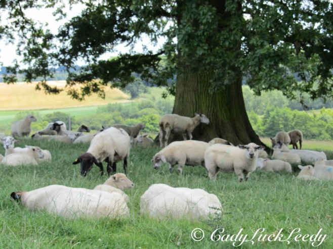 The Sheep and Lambs at Kinlet Hall, Kinlet, Shropshire