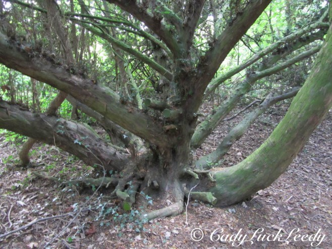 Weird Trees at Acton Burnell Castle, England