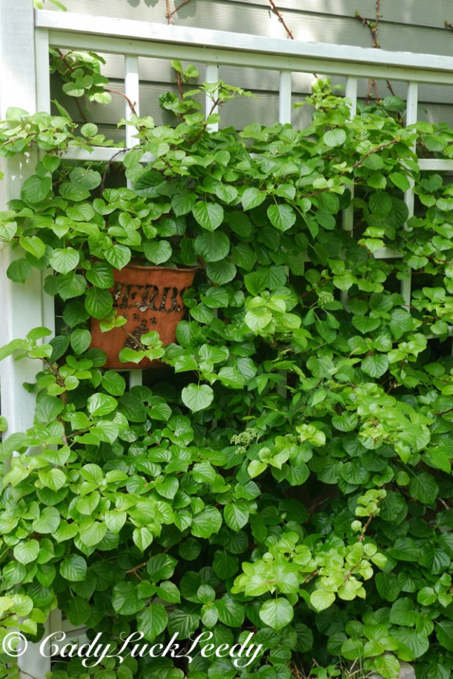 Climbing Hydrangea on Trellis, April 2014