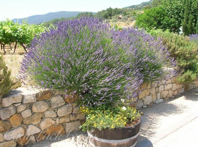 The Lavender of Suzette, France