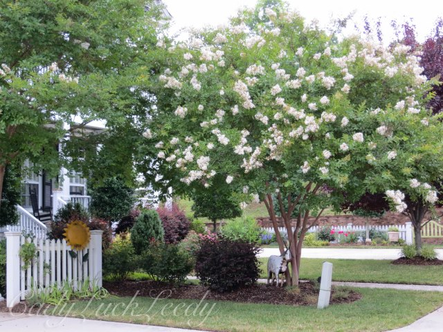 Crepe Myrtle in White