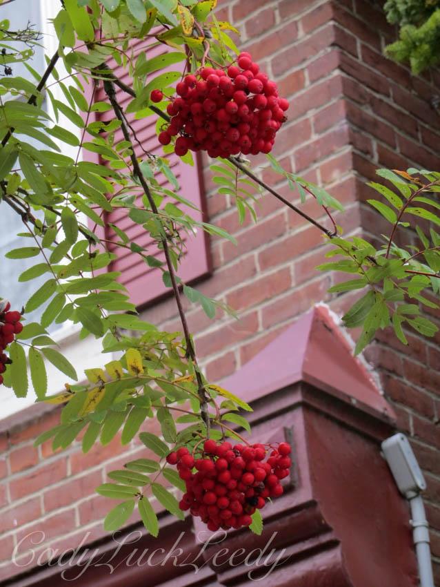 Scarlet Berries, Baie St Paul, Quebec, Canada