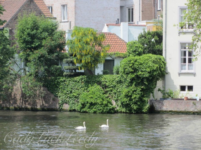 The Swans Aswimming in Bruge, Belgium