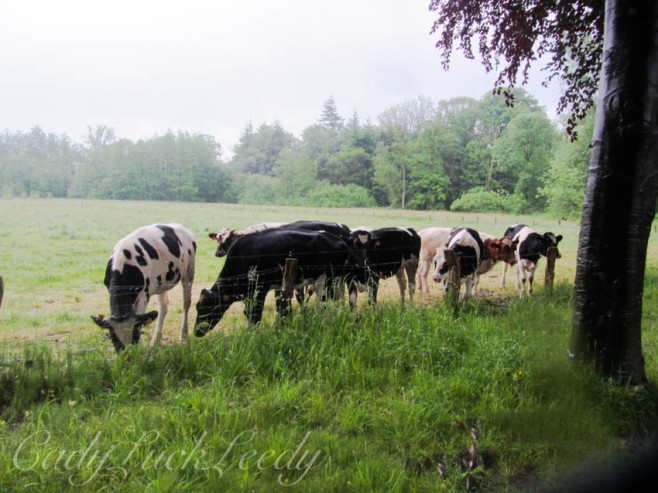 The Cows in the Country at Tillegem, Belgium