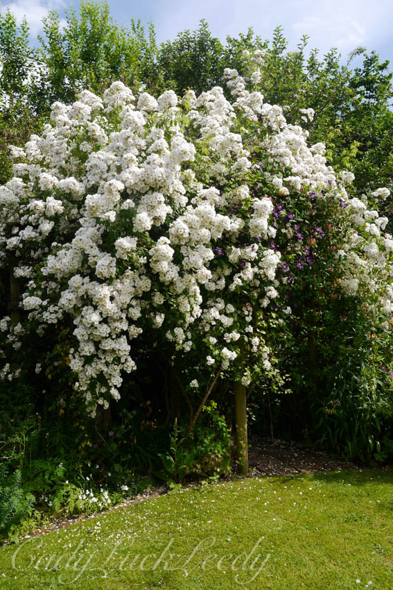 Masses of Soft White Blooms at Whites Cottage, Fletching, Uckfield