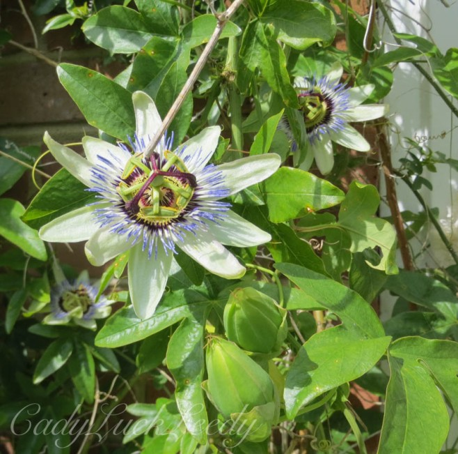 The Beautiful Blooming Clematis at Whites Cottage, Fletching, Uckfield