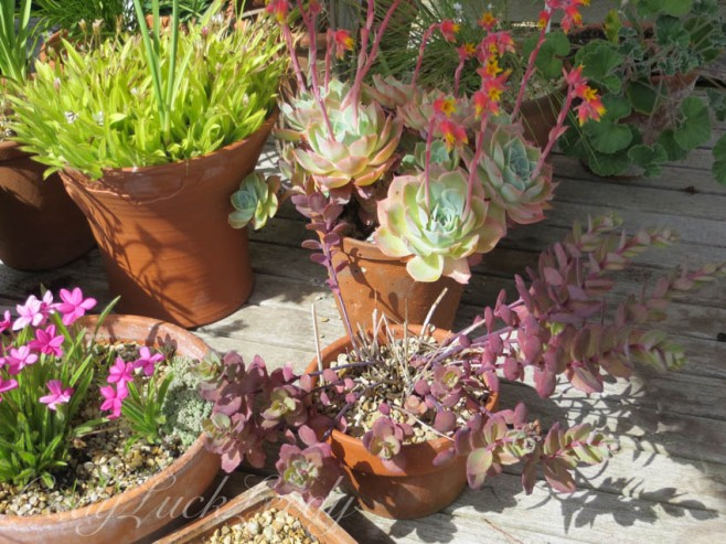 More Succulents at Whites Cottage, Fletching, Uckfield