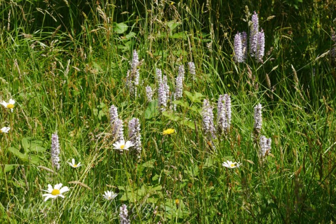 Spotted Orchids in the Meadow at Luctons, Sussex