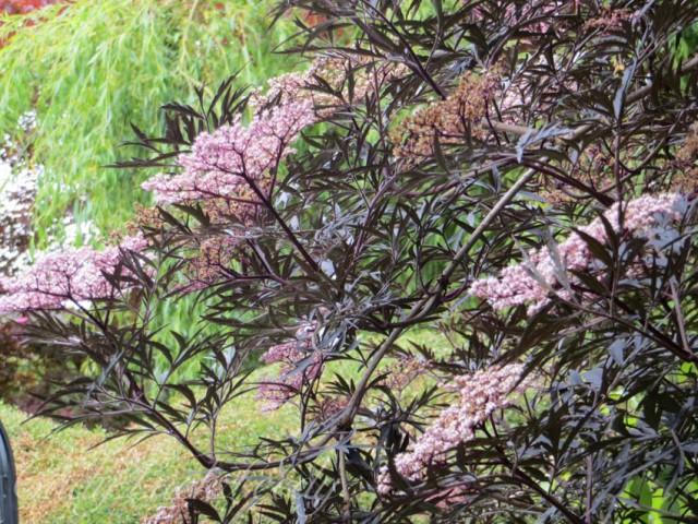 My Favorite Tree, The Black Elder at Old Post Cottage, Warninglid, Sussex