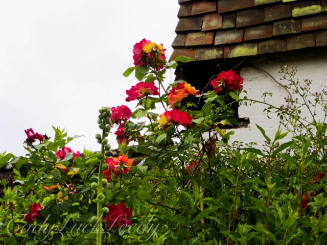 Roses in Warninglid, Sussex
