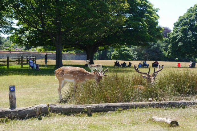 The Deer of Knole, Sevenoaks, Kent, UK