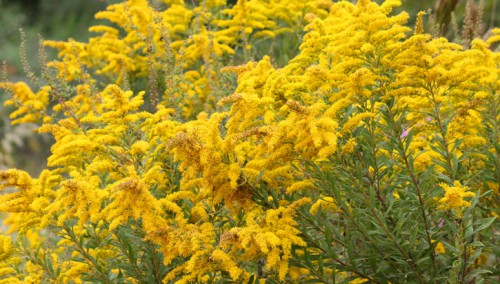 US Goldenrod