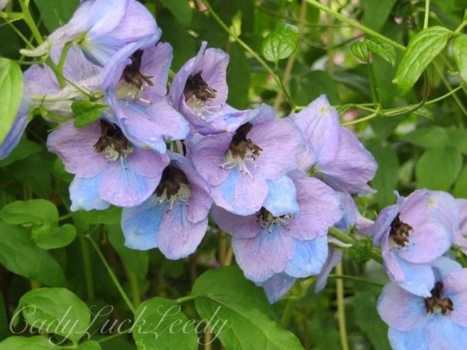 The Blue Violet Flowers