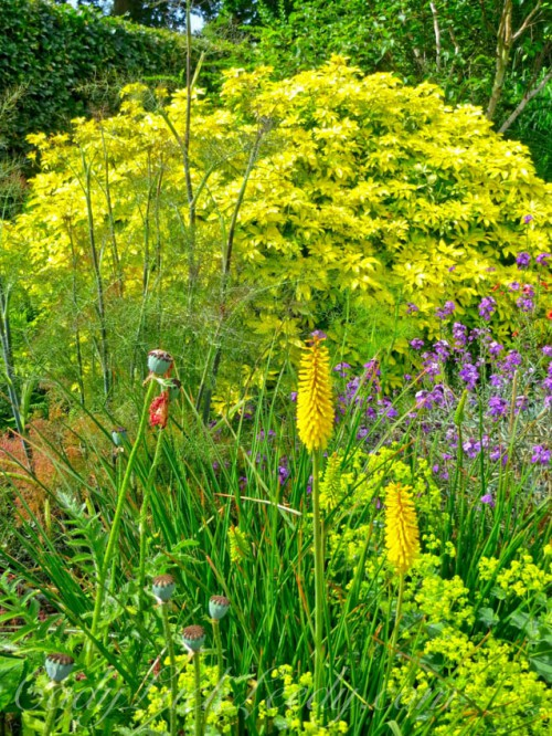 A Golden Rod With a Golden Bush in a Golden Garden in Kent!