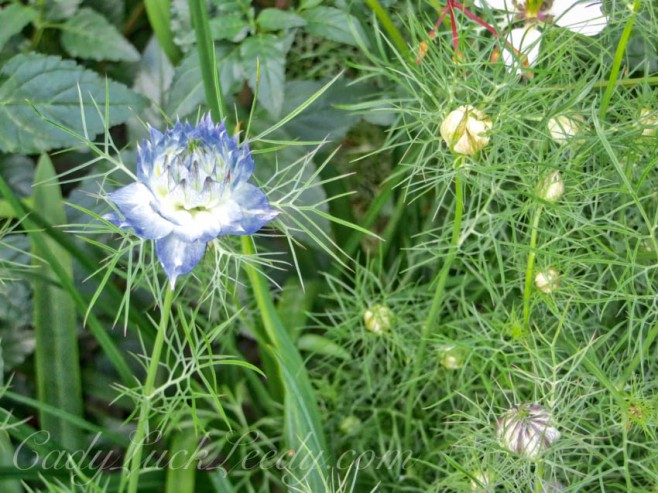 The Lonesome Cornflower Blue