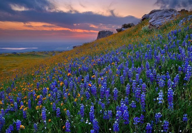 Texas Bluebells in the Hill Country of Texas