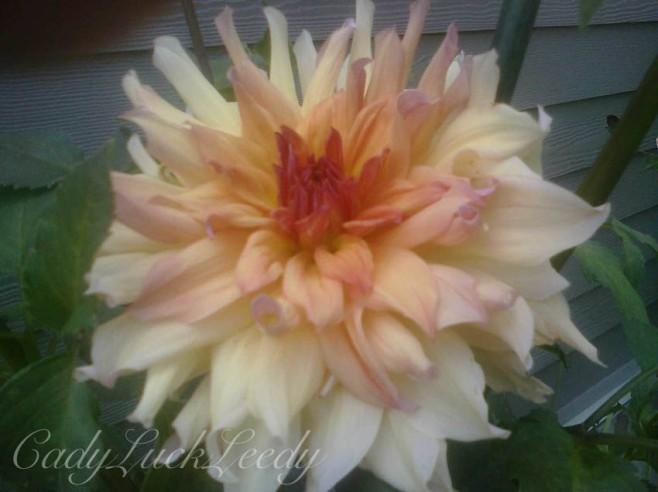 My Martha Stewart Dahlia, 2009