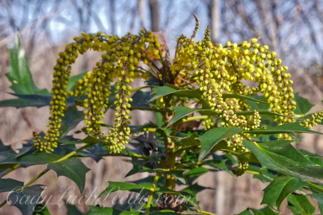 Mahonia in My Garden