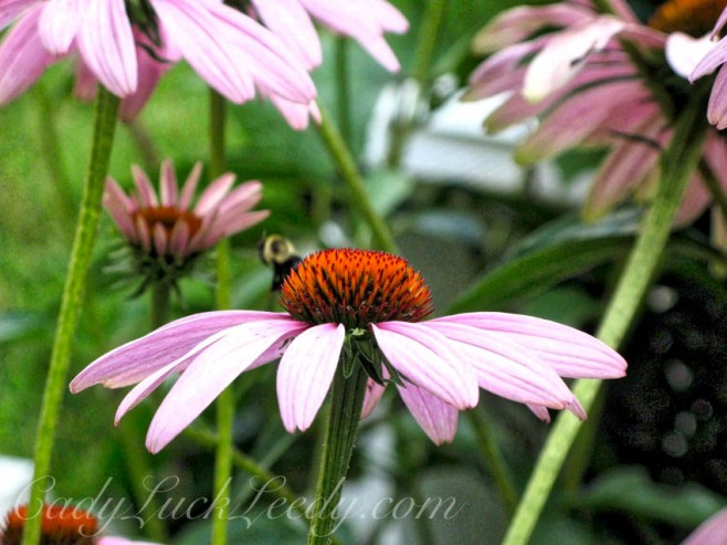 MY Mauvelous Coneflower