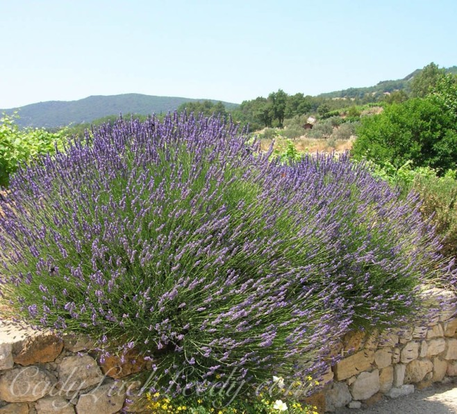 The Lavender of Le Crestet, Provence, France