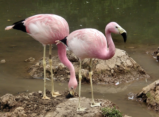 The Andean Flamingo