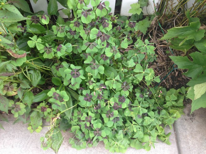 Irish Shamrock Plant