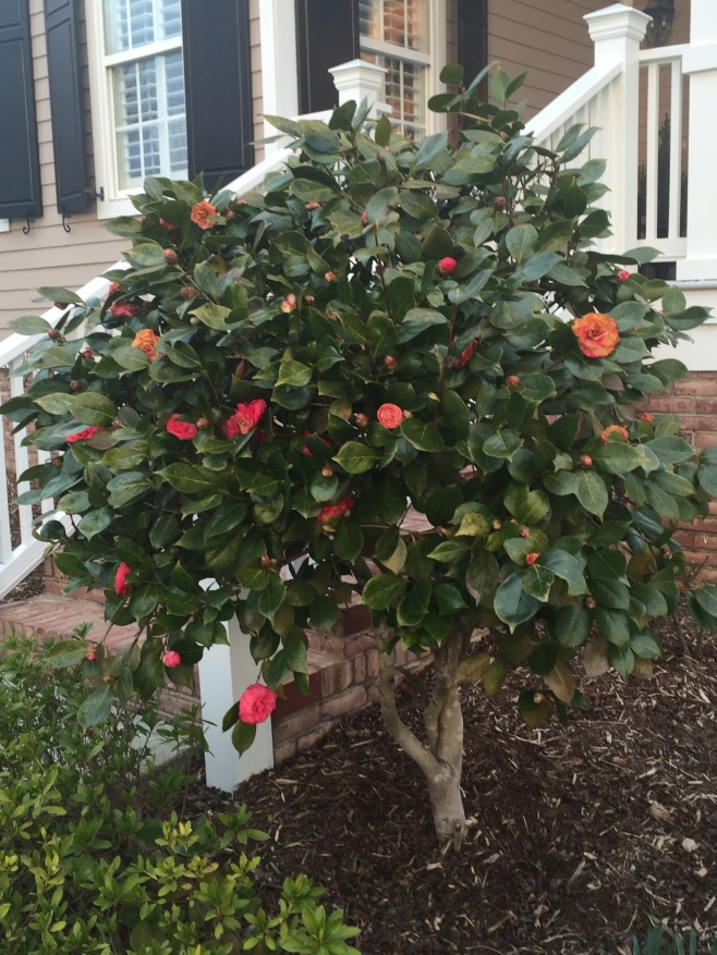 Camellias Blooming in the Garden