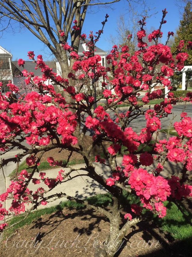 A Razzmatazz Peach Tree Herolding Spring!