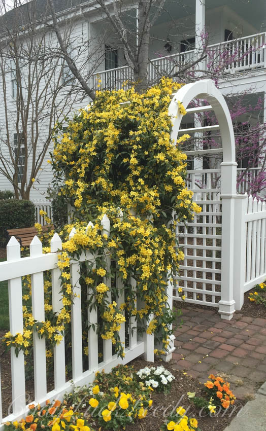 Confederate Jasmine in The Yellow Garden