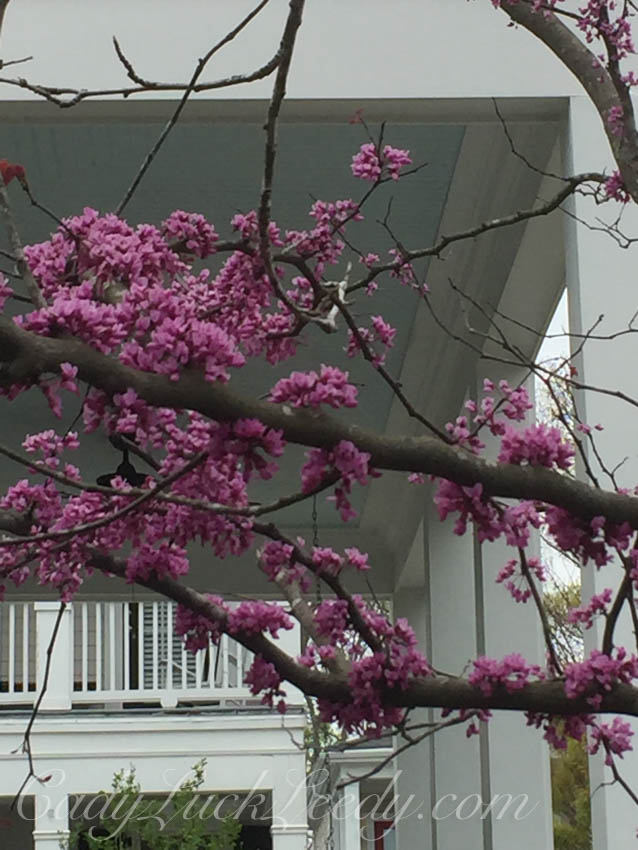 Shocking Pink Eastern Redbud Tree