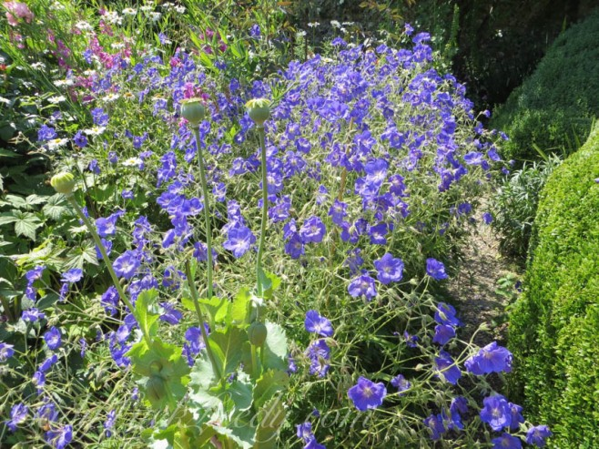 Vivid Violet at Sissinghurst Castle Gardens, Kent, UK