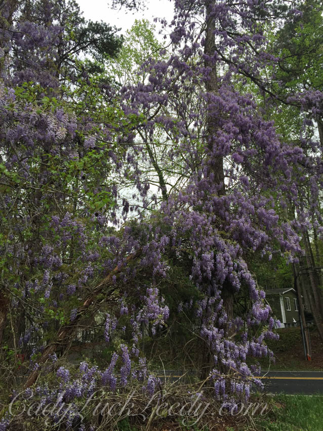 The Wisteria in the Tree