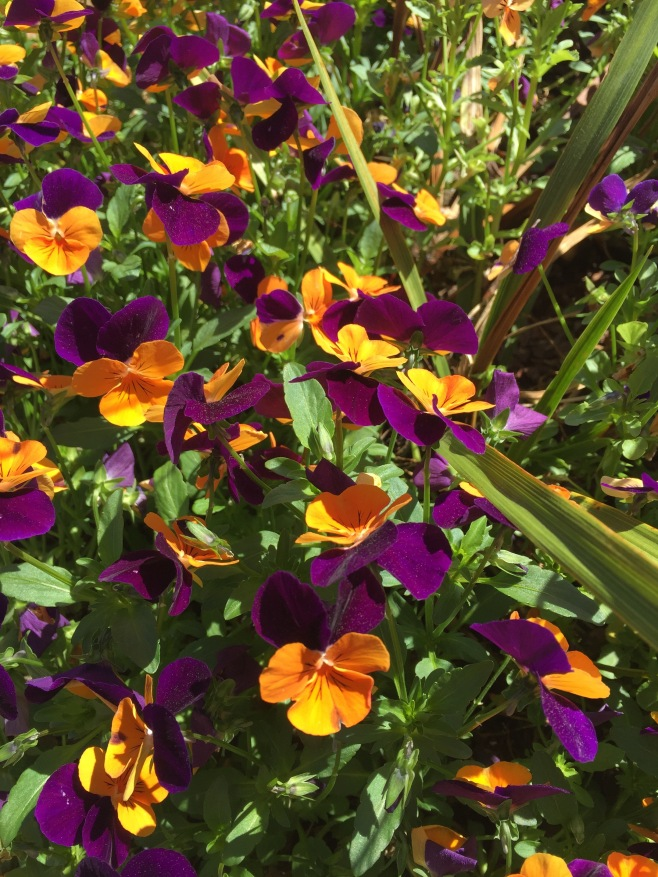 A Splash of Violas