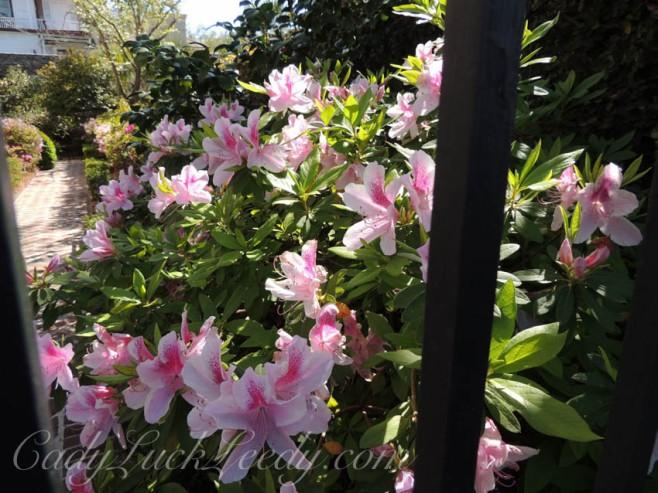 The Azaleas of Charleston's Cemetery