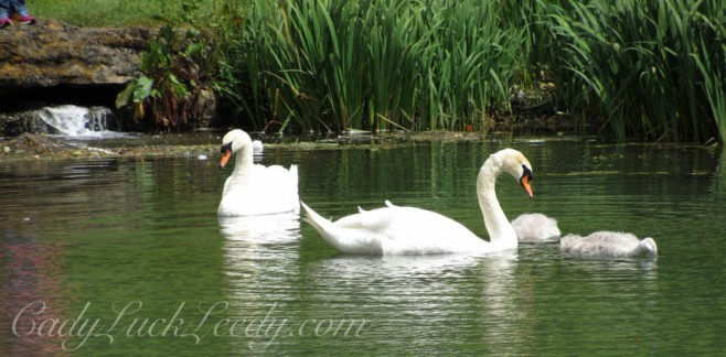 The Pet Swans