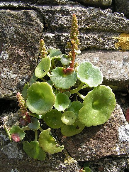 Navelwort in Walled Garden at Greenway