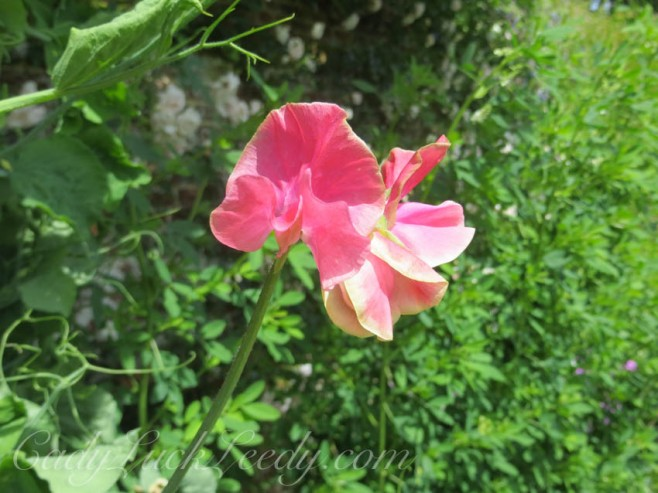 Sweetpeas in the Pink Garden, Sissinghurst, UK