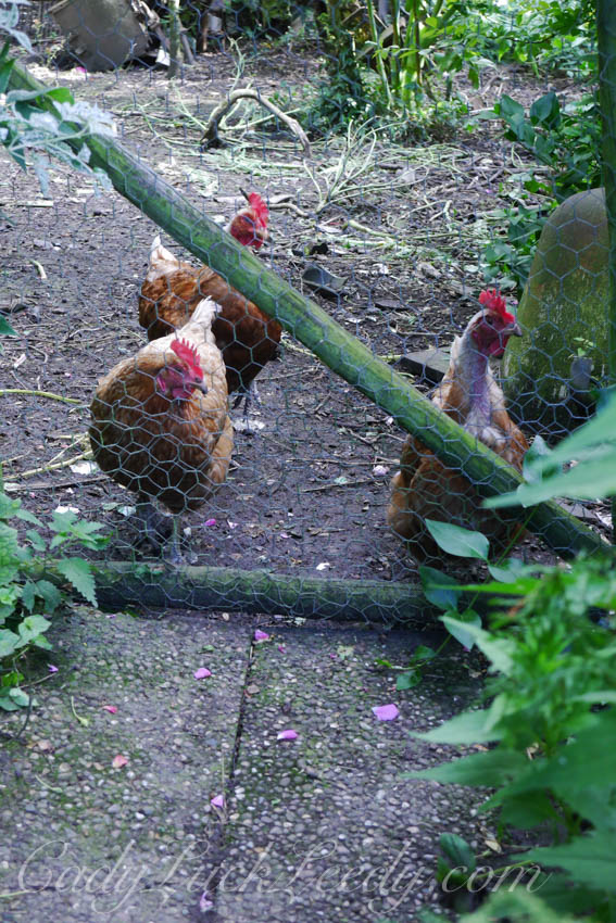 The Chickens at the Potting Shed, Benenden, UK